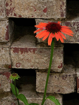 Lonely Zinnia On Wall Poster by Sandra Anderson