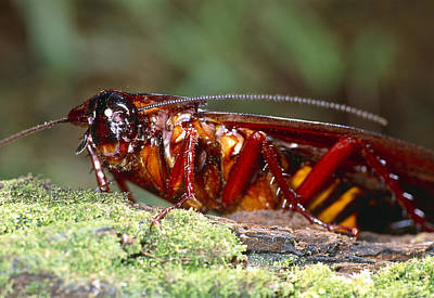 Long-winged Cockroach Poster by Dr George Beccaloni