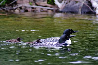 Poster featuring the photograph Loons With Twins 3 by Steven Clipperton