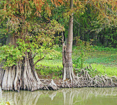 Poster featuring the photograph Louisiana Cypress by Lizi Beard-Ward