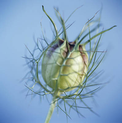 Love In The Mist Seed Head (nigella Sp.) Poster by Cristina Pedrazzini