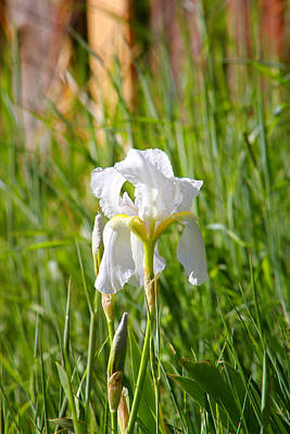 Lovely White Iris In Field Of Grass Poster