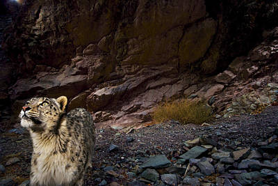 Low-light Vision Allows Snow Leopards Poster by Steve Winter