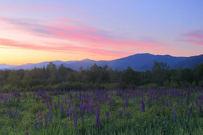Lupines And Mount Lafayette At Sunrise Poster by John Burk