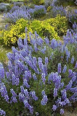 Lupinus Albifrons And Haplopappus Sp Poster by Bob Gibbons