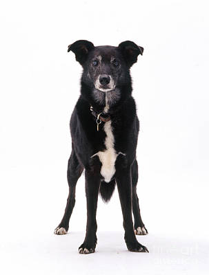 Lurcher With Cataracts Poster