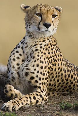 Maasai Mara Cheetah  Poster
