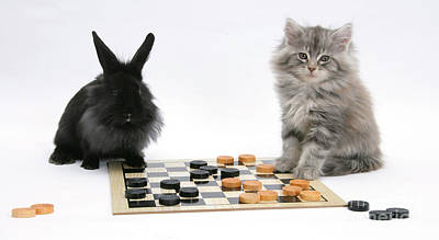 Maine Coon Kitten And Black Rabbit Poster by Mark Taylor