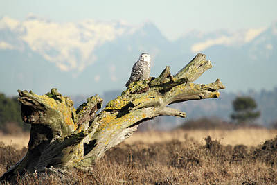 Majestic Snowy Owls Poster by Pierre Leclerc Photography
