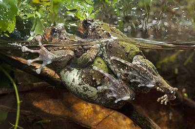 Malagasy Burrowing Frogs Mating Poster by Angel Fitor