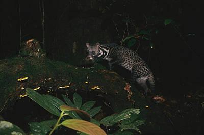 Malay Civet Or Tangalung Climbing Poster by Tim Laman