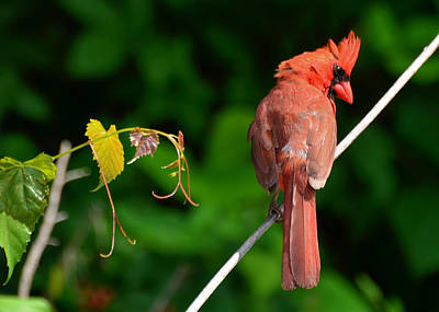 Male Cardinal  - 51005559c Poster by Paul Lyndon Phillips