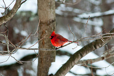 Male Cardinal In Winter Poster by Ron Smith