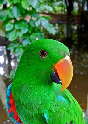 Male Eclectus Parrot II Poster by Kirsten Giving