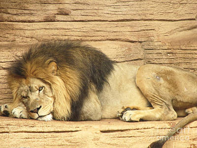 Male Lion Resting Poster