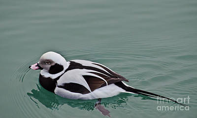 Male Long Tailed Duck In Winter Plumage Poster