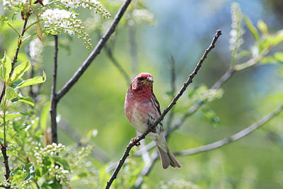 Male Purple Finch Poster