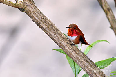 Male Rufous Resting I I Poster by Laura Mountainspring