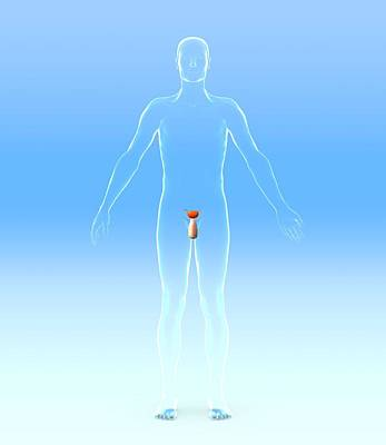 Male Urogenital System, Artwork Poster by Roger Harris