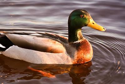 Poster featuring the photograph Mallard Duck At Sunset by Ann Murphy