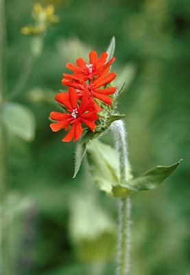 Maltese Cross (lychnis Chalcedonica) Poster by Vaughan Fleming