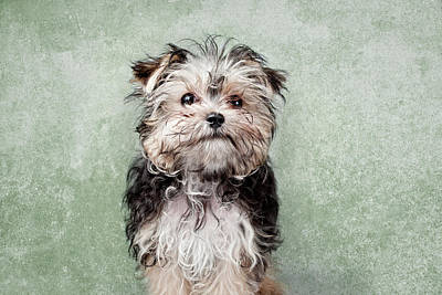 Maltese Mix On  Green Background Poster by Chad Latta