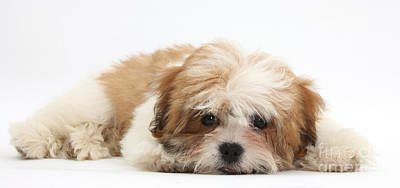 Maltese Shih-tzu Mix Puppy Lying Down Poster by Mark Taylor