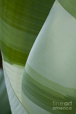 Manani - Aeae - Variegated Banana Leaves - Musa Paradisiaca  Poster by Sharon Mau