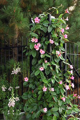 Mandevilla Vine With Pink Flowers Poster by Darlyne A. Murawski
