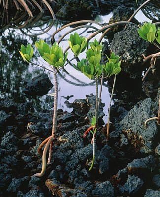 Mangrove Trees Poster by G. Brad Lewis