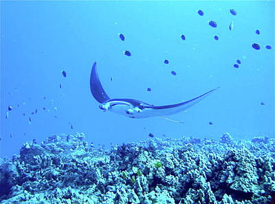 Manta Ray Poster by Dr Peter M Forster