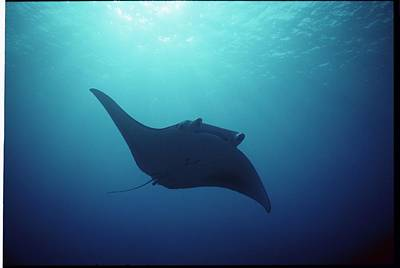 Manta Ray, Yap Islands, Caroline Poster by Joe Stancampiano
