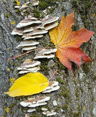 Maple Autumn Leaf On A Tree Trunk Poster