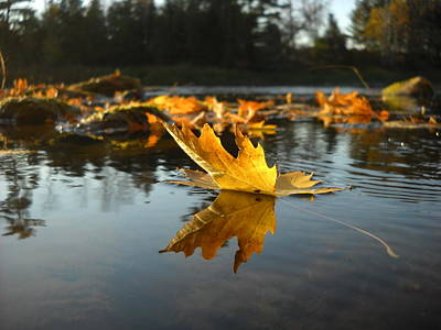 Maple Leaf Floating In River Poster