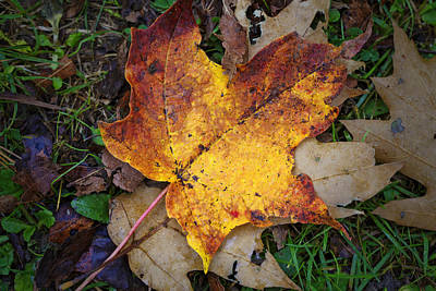 Maple Leaf In Fall Poster by Rick Berk