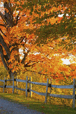 Maple Trees And A Rail Fence In Autumn Poster