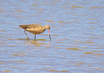 Marbled Godwit Searching For Food Poster