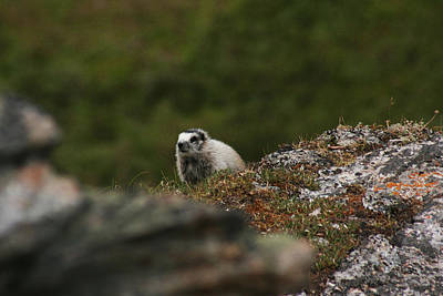 Marmot Denali National Park Poster
