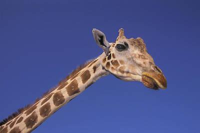 Masai Giraffe, Serengeti, Africa Poster