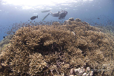 Masses Of Staghorn Coral, Papua New Poster by Steve Jones