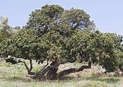 Mastic Tree (pistacia Lentiscus Var.chia) Poster by Bob Gibbons