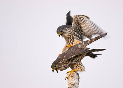 Mating Merlin Poster by Photographs By Les Piccolo