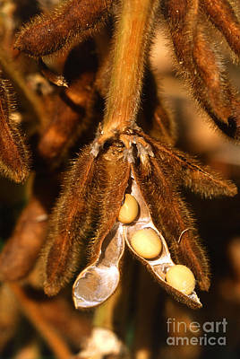 Mature Soybeans Poster by Science Source