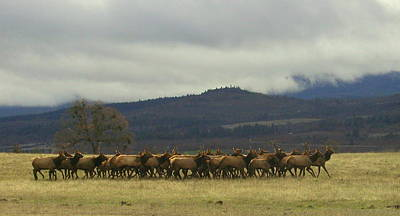 Medford Elk Herd 2 Poster by Cindy Wright