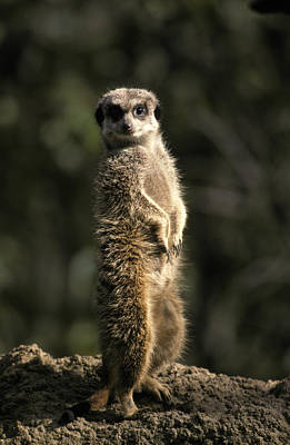 Meerkat Leaning On Tail On Mound, Alert Poster by Jason Edwards
