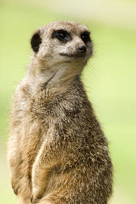 Meerkat Poster by Power And Syred