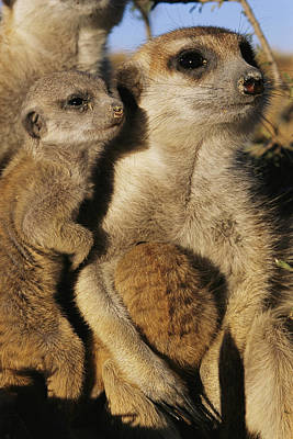 Meerkat Pups With Their Caretaker Poster