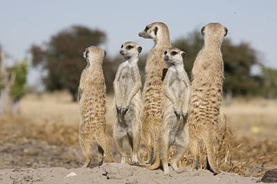 Meerkats On The Edge Poster