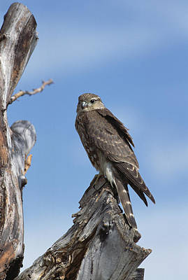 Merlin Falco Columbarius Perching Poster by Konrad Wothe