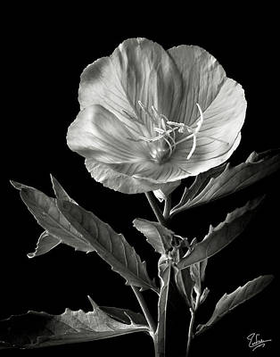 Poster featuring the photograph Mexican Evening Primrose In Black And White by Endre Balogh